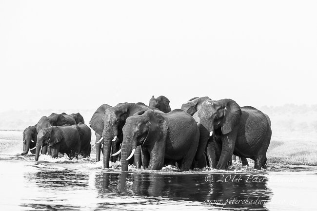 A breeding herd of African elephants cross between islands in the Chobe River © Peter Chadwick