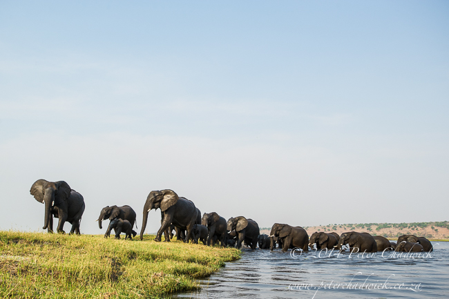 The matriarch leads a breeding herd of elephants to rich feeding grounds in the Chobe River © Peter Chadwick