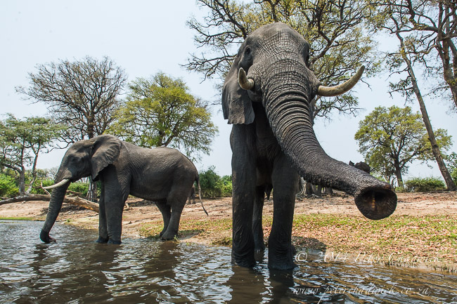 Young elephant bulls drink and bathe lazily in the Chobe River during the heat of the day © Peter Chadwick
