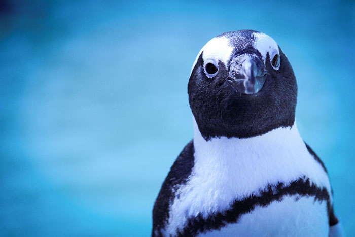 ... the only penguin species to occur naturally on the African continent