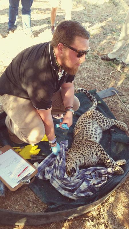 Female leopard collared in August 2014 © Landmark Foundation