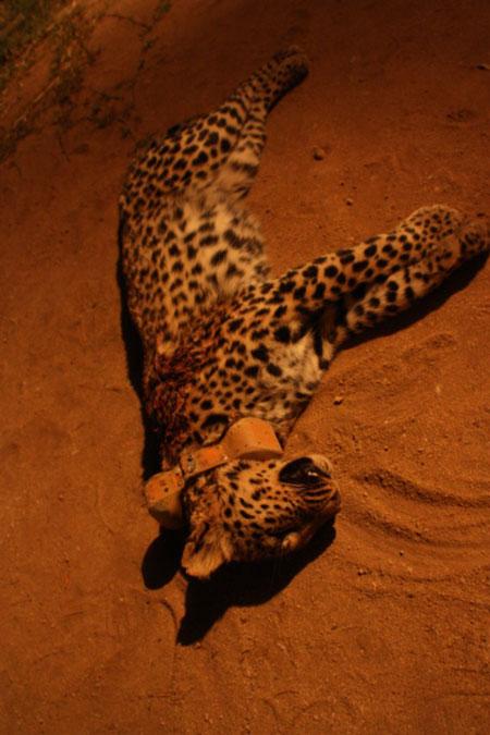 The same leopard shot in October 2014 © Landmark Foundation