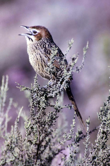 Cape grassbird is one of the most characteristic bushbirds of the reserve © Mike Fraser