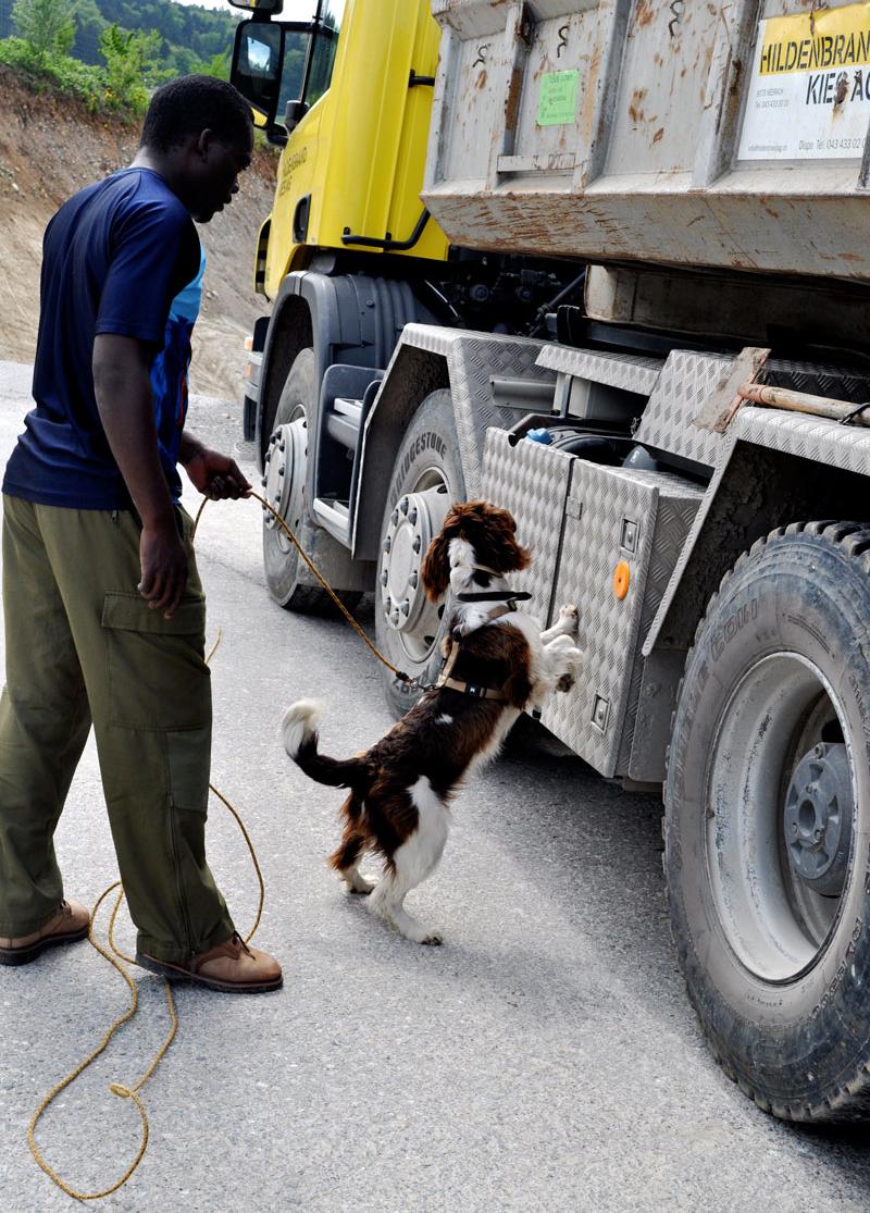 Congo-hounds-springer-spaniel