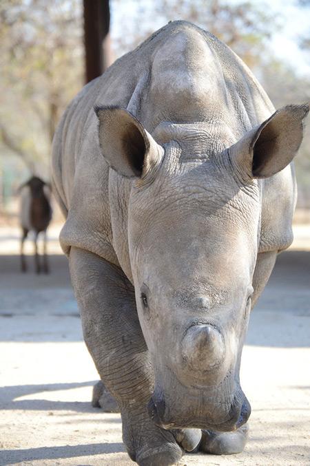 Gertjie-baby-rhino