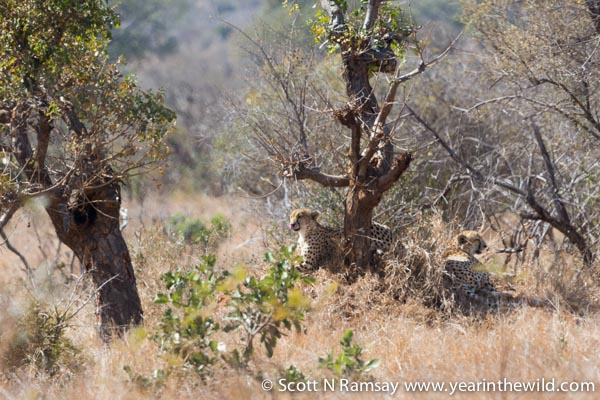 Cheetah! These were the only two cheetahs I saw in two and a half months of travelling all the way through Kruger. I spotted them just north of Satara. © Scott Ramsay