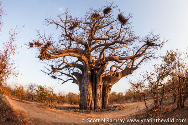 There's a beautiful baobab that's easily accessible near Shimuwini Camp. But you have to be booked into Shimuwini to see it, because this is one of the exclusive bush camps in Kruger (which are my favourite!) © Scott Ramsay