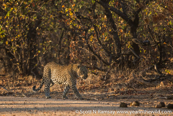 The big male leopard patrolling his territory near Shimuwini Camp. It's amazing how these animals melt into the bush. They disappear within a few metres of the road. I can understand why leopards are so revered and feared in many African customs. © Scott Ramsay