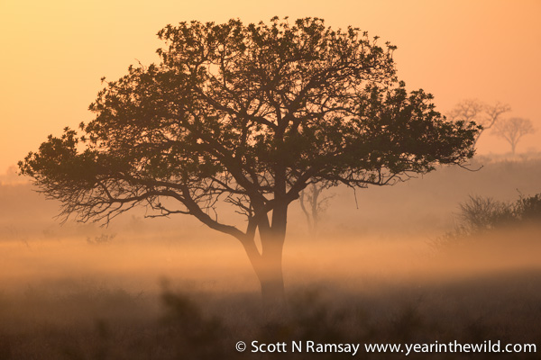 Early morning mist near Satara...now, where's that silhouette of a male lion roaring!?© Scott Ramsay
