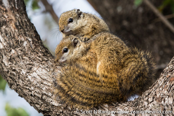 An unusually cold snap passed through Kruger while we were at Olifants. These tree squirrels huddled up and used their thick tails as blankets. © Scott Ramsay