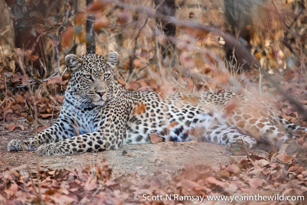 There she (or he? - I couldn't tell) lay - dappled and dignified. If lions are the kings of the beast, leopards are the princes. This adonis was lying in the mopane woodland just south of Letaba camp. Late afternoon. © Scott Ramsay