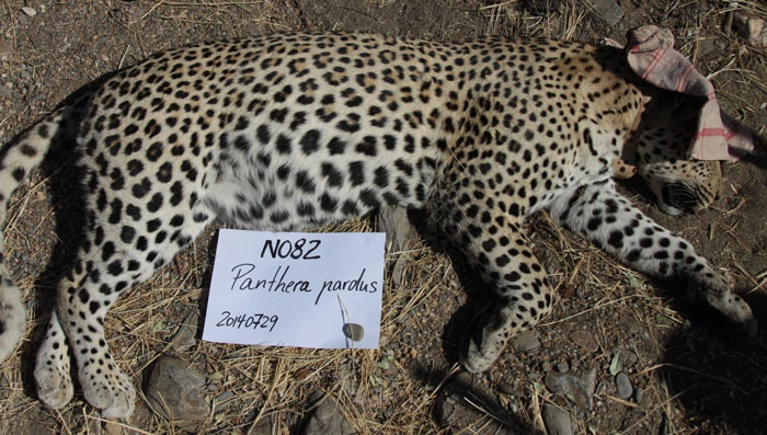 Leopard-082-Namibia