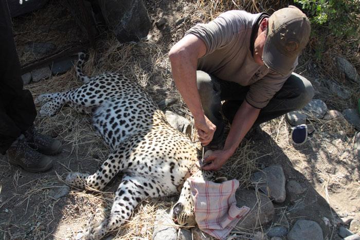 Leopard-082