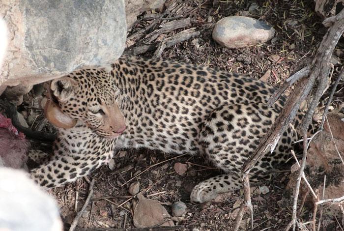Lightning-Namibia-leopard