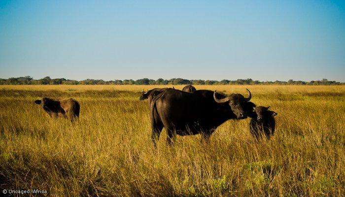 Liuwa-Plain-National-Park-African-Parks-Buffalo-herd