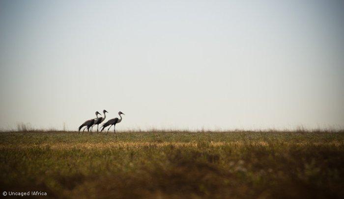 Liuwa-Plain-National-Park-African-Parks-Wattled-cranes