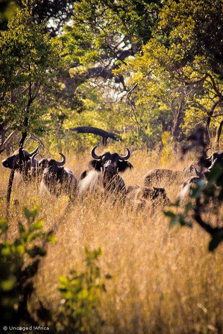 Liuwa-Plain-National-Park-African-Parks-buffalo-big-five