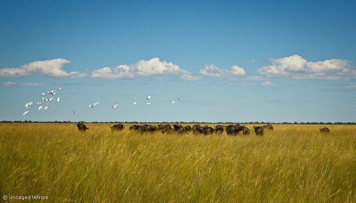 Liuwa-Plain-National-Park-African-Parks-buffalo