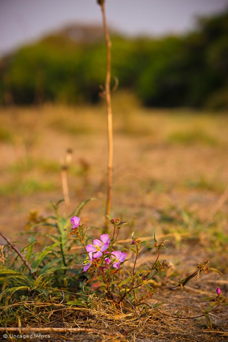 Liuwa-Plain-National-Park-African-Parks-flower