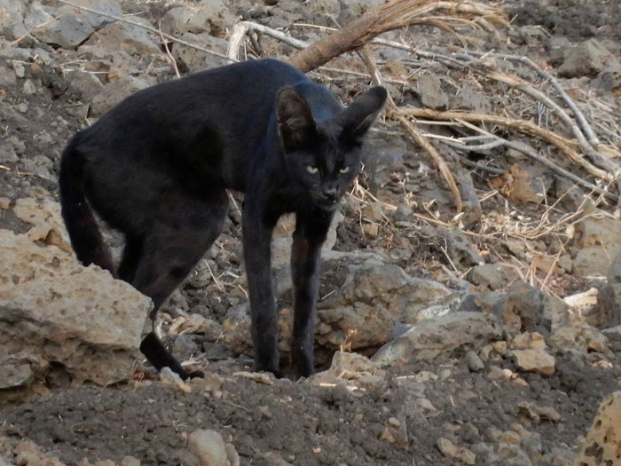 Melanistic Serval Seen Again Africa Geographic