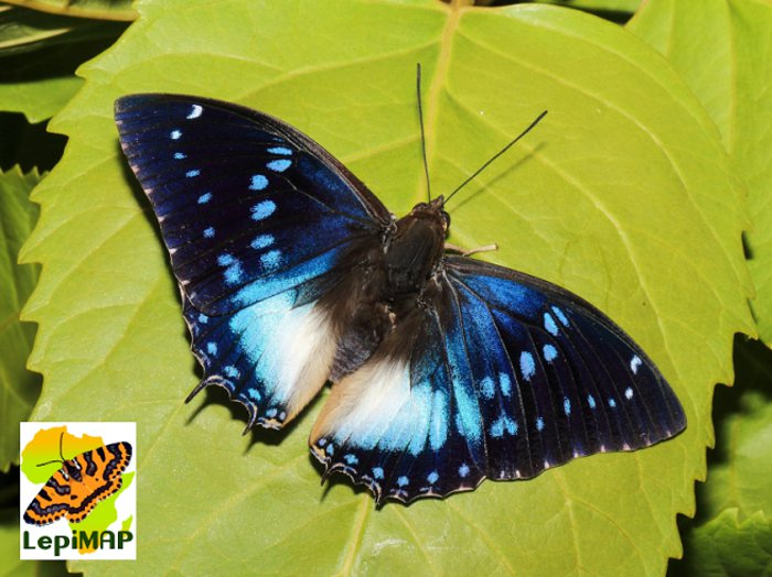 Blue-spotted charaxes / Bosprins-dubbelstert. © Rob Dickinson
