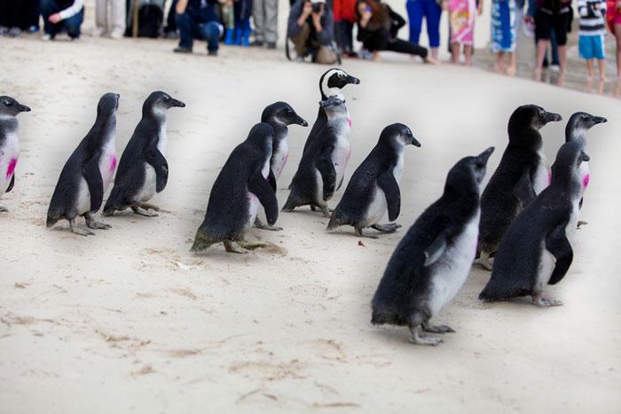 Penguins-Simons-town