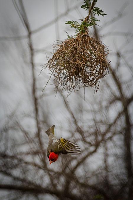 Red-Headed-Weaver-building-nest