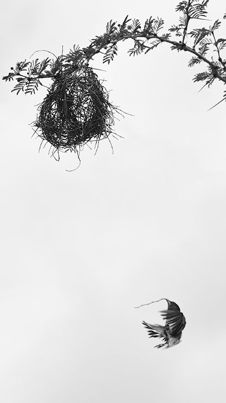 Red-Headed-Weaver