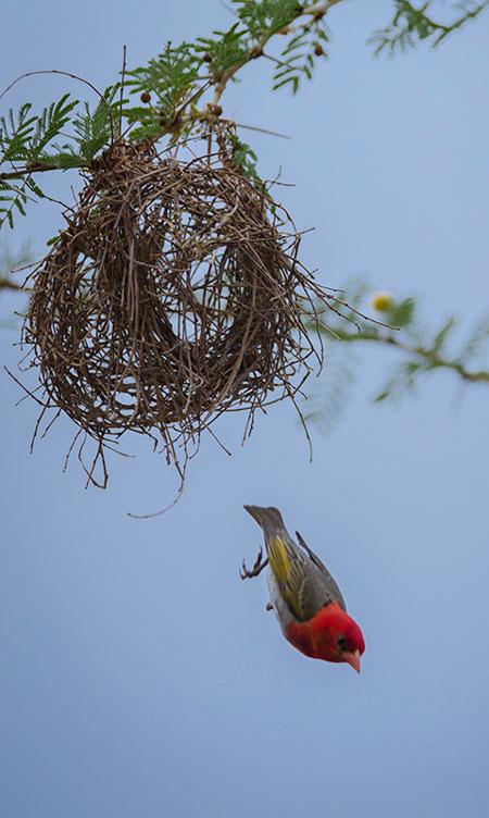 Weaver-nest