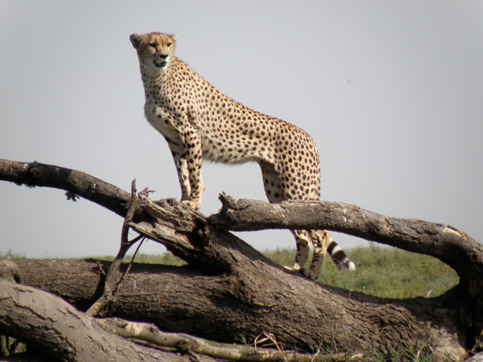 cheetah-look-out