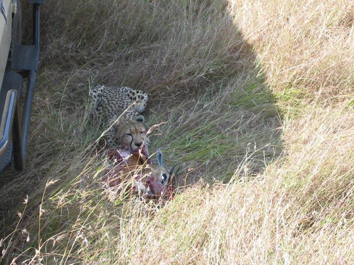 cheetah-with-kill
