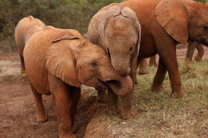 Orphaned elephants cared for at an orphanage in Nairobi, Kenya. © David Sheldrick Wildlife Trust