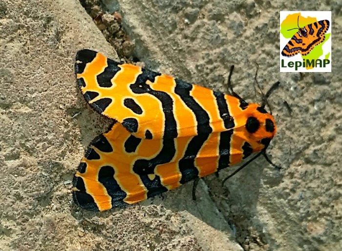 Beautiful Tiger moth. © Eward Doubell