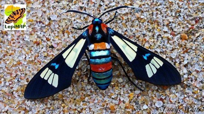 Splendrous Hornet moth. © Luelle Watts