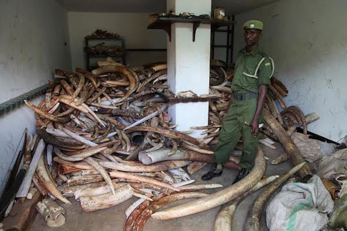 Ivory stockpile recovered from poached elephants. © David Sheldrick Wildlife Trust
