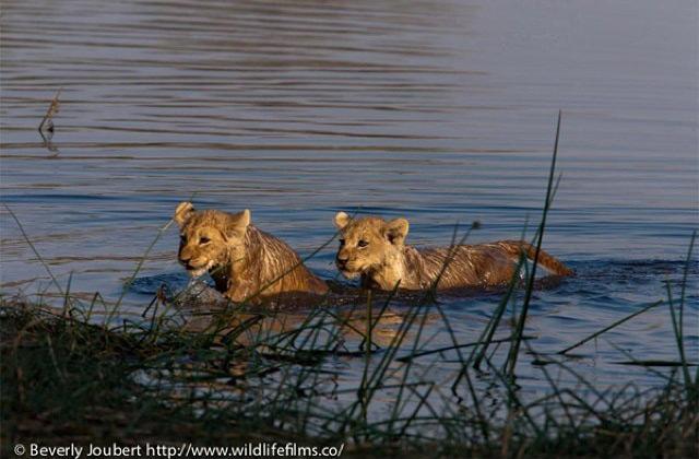 lion-cubs-cross-river