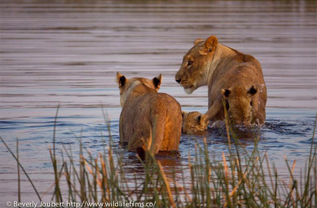 lion-cubs-crossing-river
