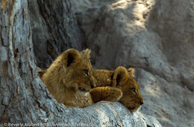 lion-cubs-in-selinda