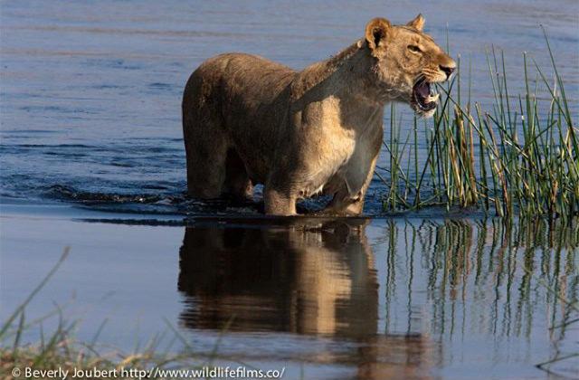 lioness-calling