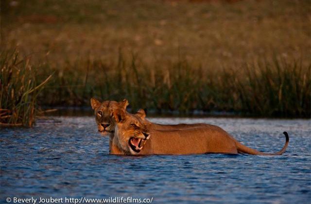 lioness-crosses-river