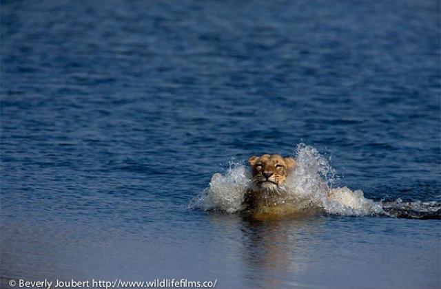 lioness-in-river-selinda