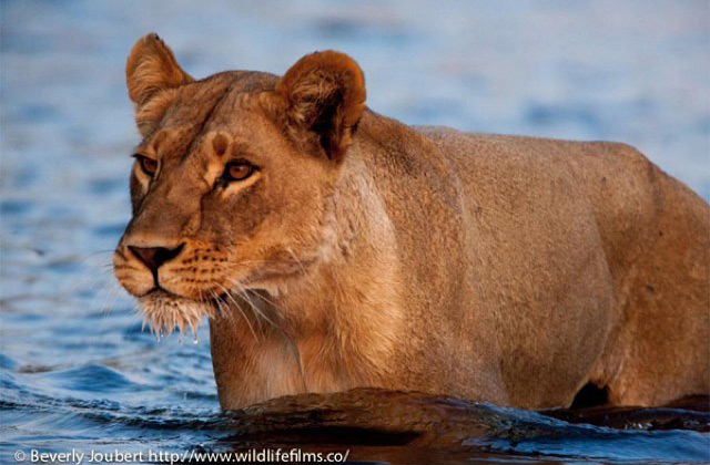 lioness-in-river