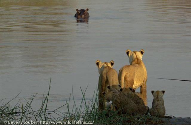 lionesses-cross-river