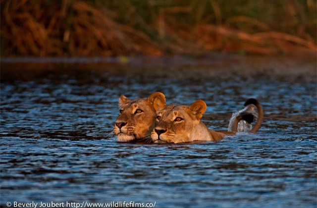 lionesses-crossing-river
