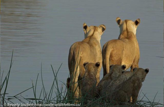 lionesses-selinda