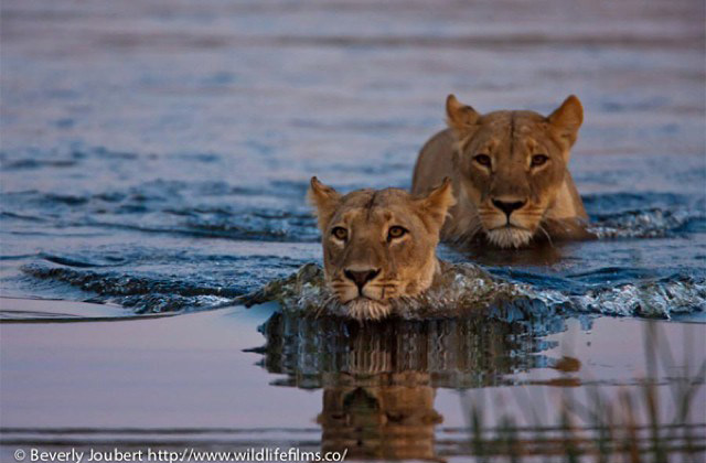 lionesses-swim-across-river