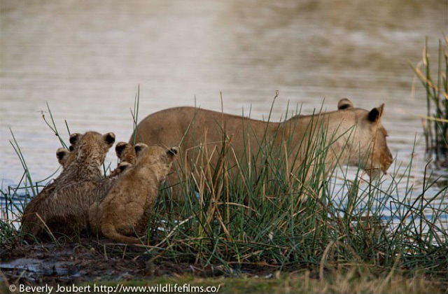 lionesss-and-cubs