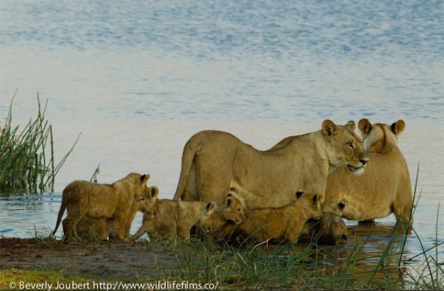 lions-and-cubs-cross-river