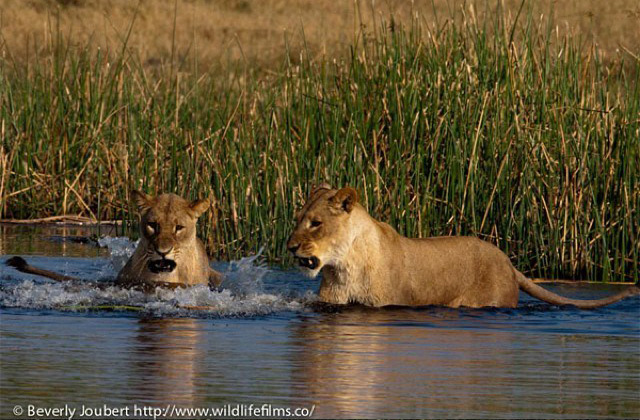 lions-cross-river