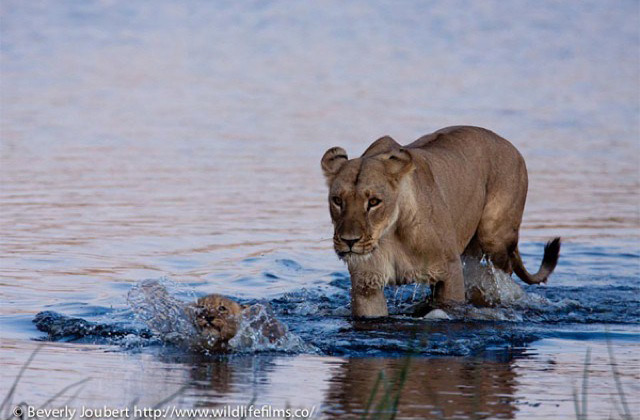 lions-crossing-river
